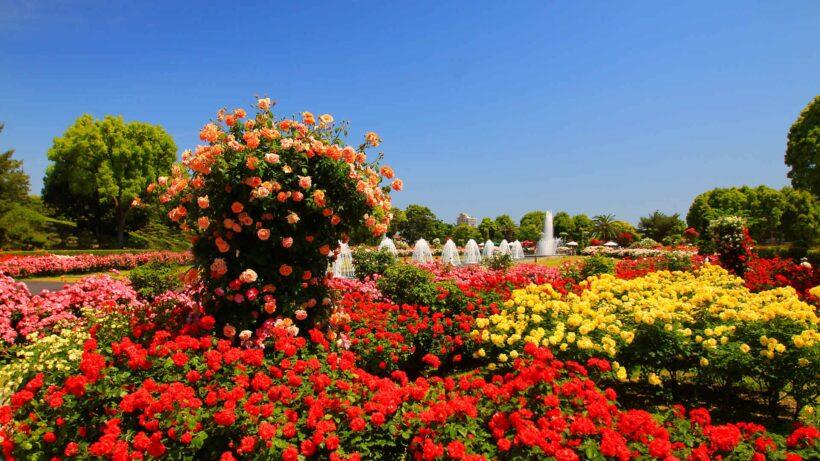 hình ảnh vườn hoa hồng đẹp