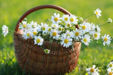 hình ảnh ý nghĩa hoa cúc trắng đẹp