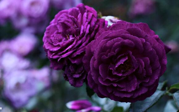 hình ảnh ý nghĩa hoa hồng tím 4k