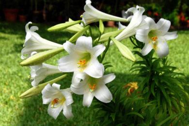 hình ảnh ý nghĩa hoa huệ đẹp