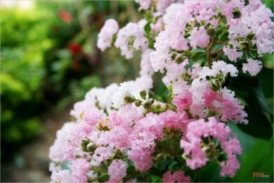 Hình ảnh, ý nghĩa hoa tường vi
