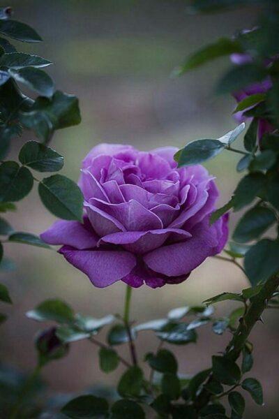 hình nền bông hoa hồng tím tự nhiên