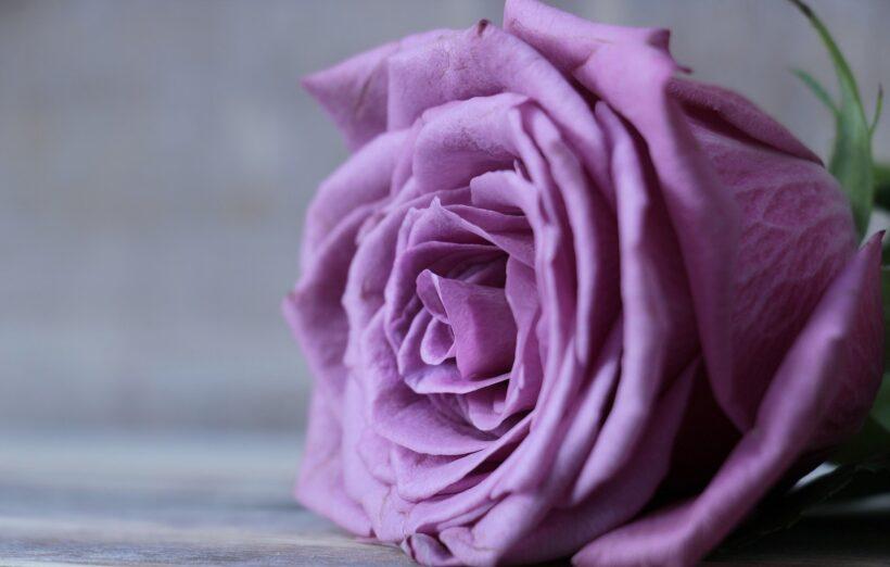 Hình nền hoa hồng tím cho máy tính