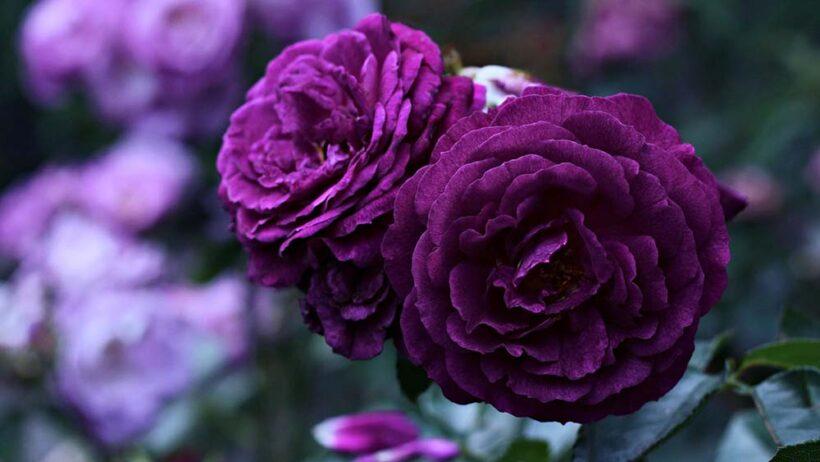 Hình nền hoa hồng tím đẹp