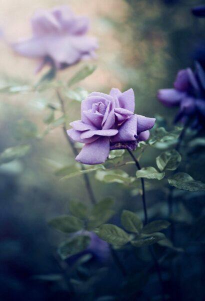 hình nền hoa hồng tím nhẹ nhàng thủy chung