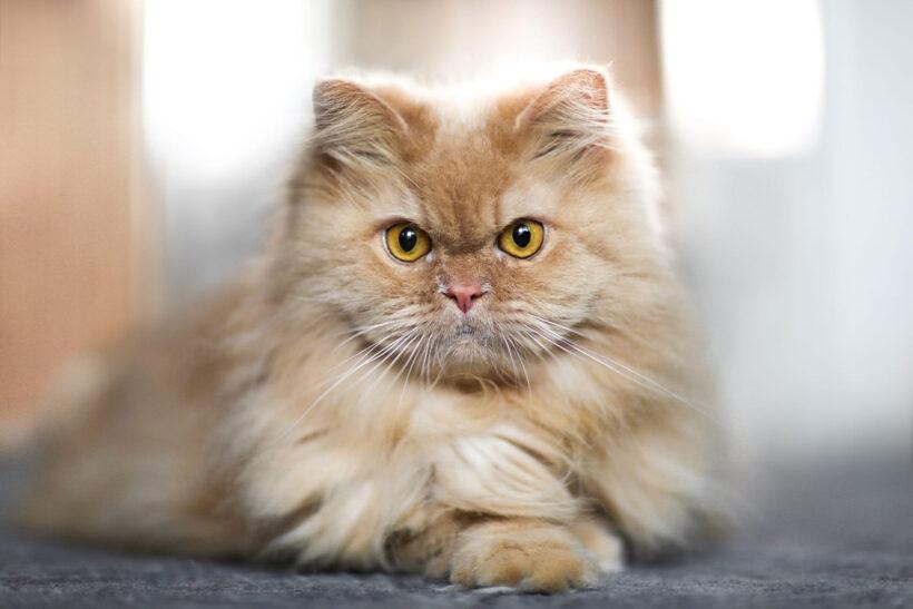 hình nền mèo ba tư rất ngầu và đáng yêu cho desktop máy tính