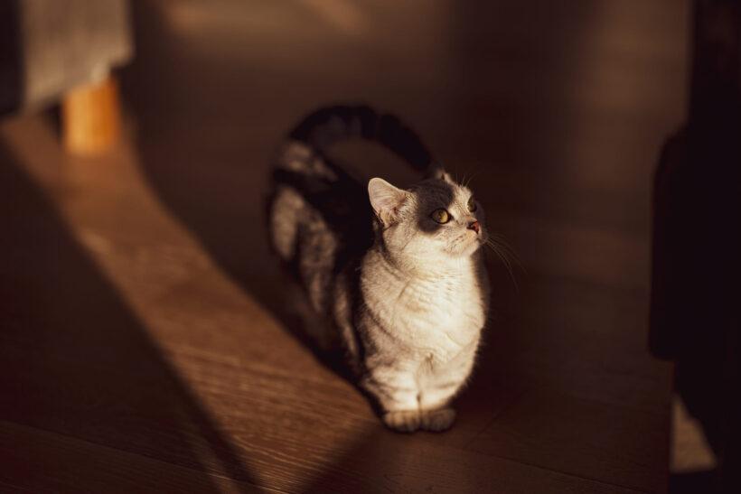 hình nền mèo Munchkin chụp nghệ thuật