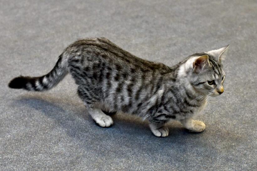 hình nền mèo Munchkin đang đi trên đường