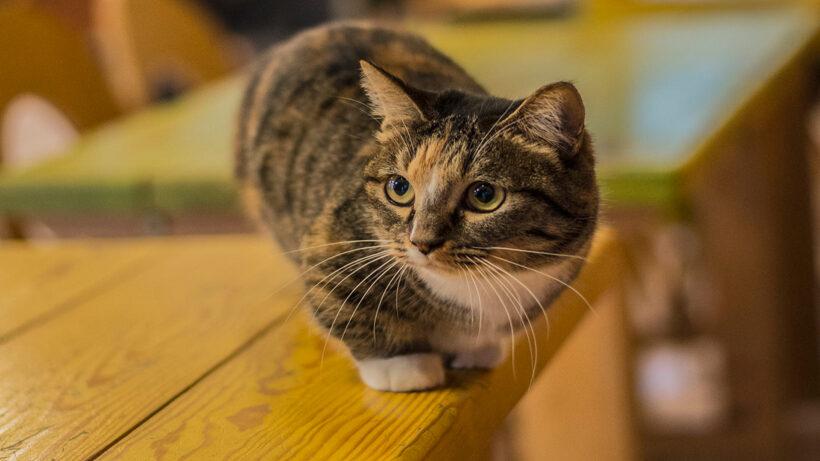 hình nền mèo Munchkin xinh đẹp nhất