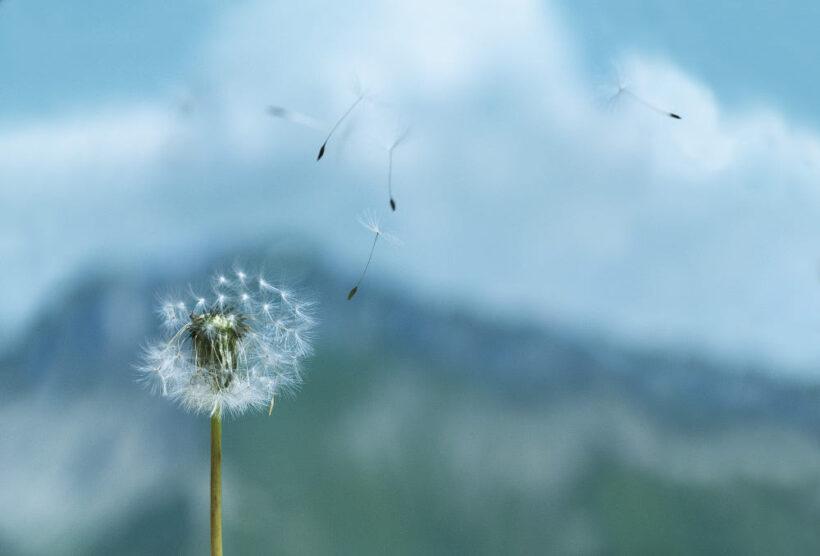 Hoa bồ công anh bay trong gió