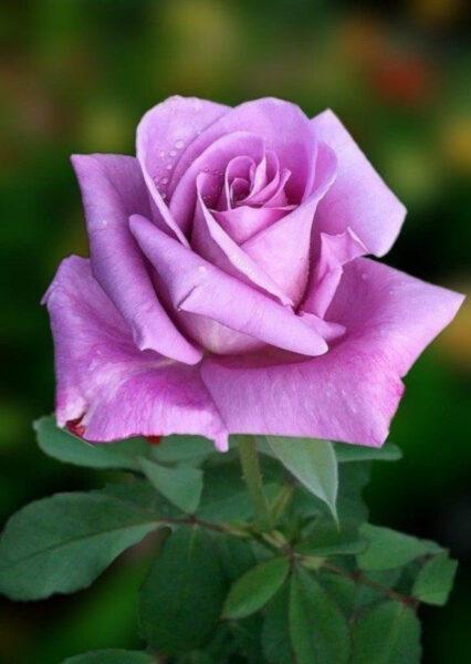 Hoa hồng tím nhạt đẹp nhất