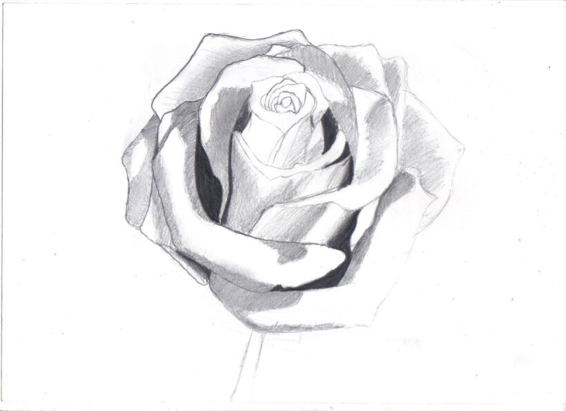 hoa hồng vẽ đơn giản bằng bút chì