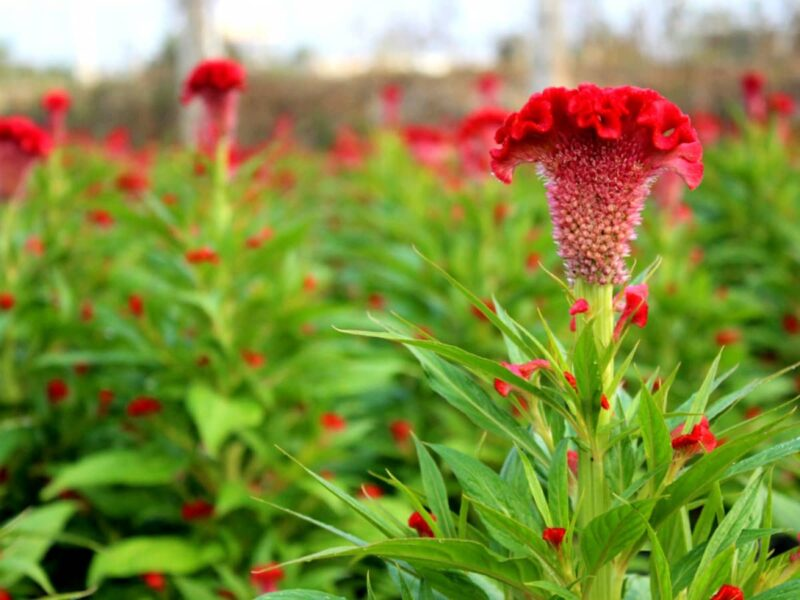 Khu vườn hoa mào gà đỏ tuyệt đẹp