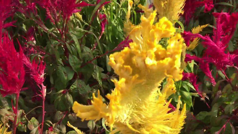 Những bông hoa mào gà