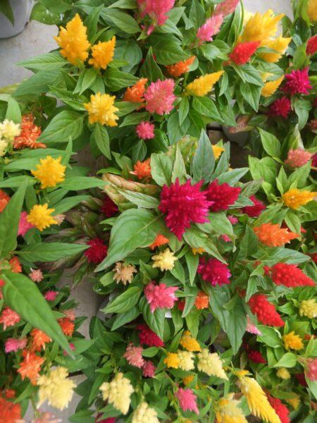 Những cây hoa mào gà nhiều màu sắc đẹp