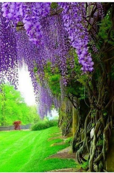 Những cây hoa tử đằng tím tuyệt đẹp