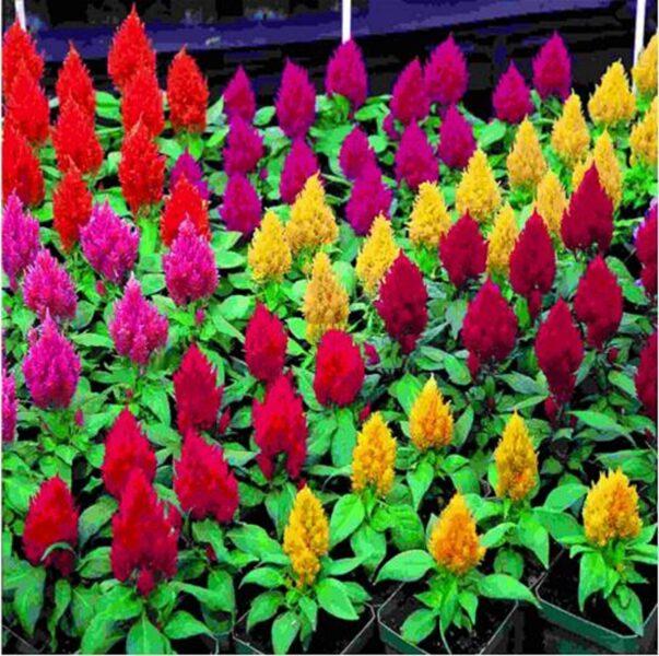 Những chậu hoa mào gà nhỏ nhiều màu sắc đẹp