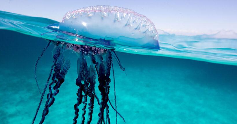 Tải ảnh con sứa đẹp làm hình nền (1)