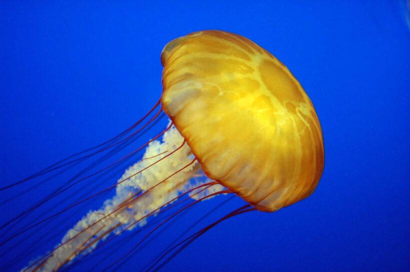 Tải ảnh con sứa đẹp làm hình nền (2)