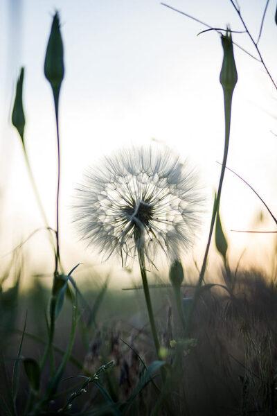 Tải hình ảnh hoa bồ công anh