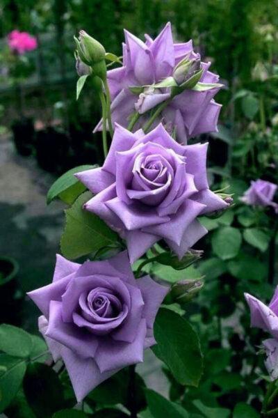 Tải hình ảnh hoa hồng tím đẹp nhất