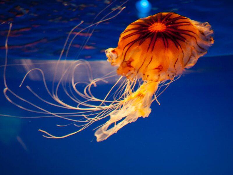 Tổng hợp hình ảnh con sứa đẹp sinh động nhất (1)
