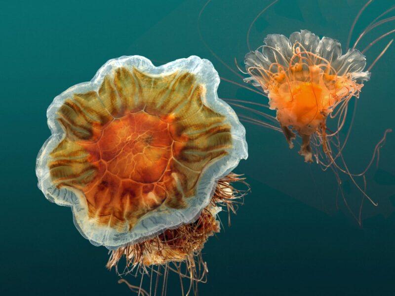 Tổng hợp hình ảnh con sứa đẹp sinh động nhất (2)
