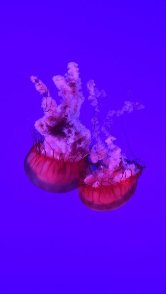 Tổng hợp hình ảnh con sứa đẹp sinh động nhất (21)
