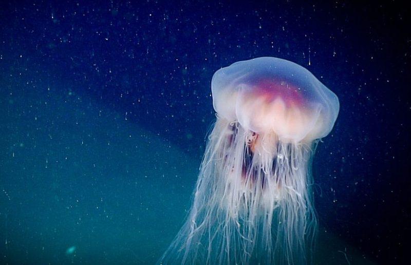 Tổng hợp hình ảnh con sứa đẹp sinh động nhất (26)