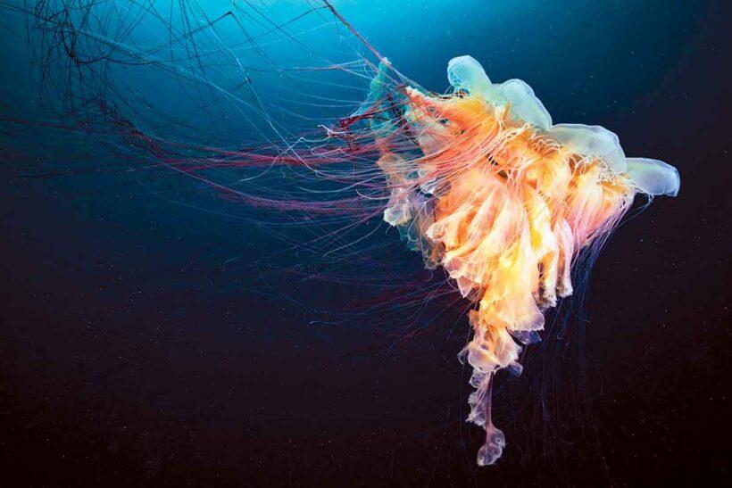Tổng hợp hình ảnh con sứa đẹp sinh động nhất (29)