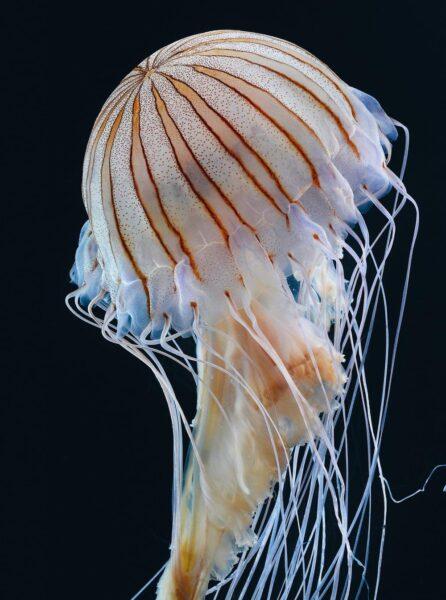 Tổng hợp hình ảnh con sứa đẹp sinh động nhất (7)