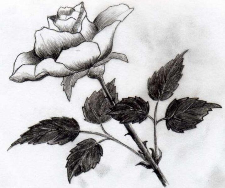 Tranh vẽ hoa hồng bằng bút chì