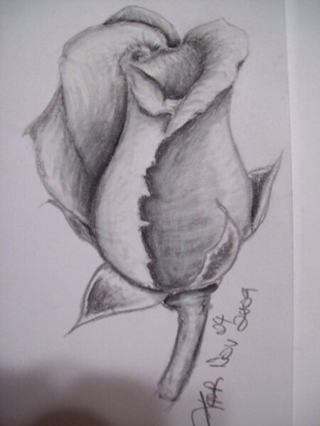 Tranh vẽ hoa hồng chớm nở