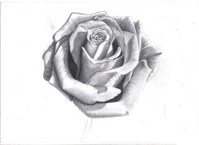 Tranh vẽ hoa hồng đơn giản, đẹp bằng bút chì