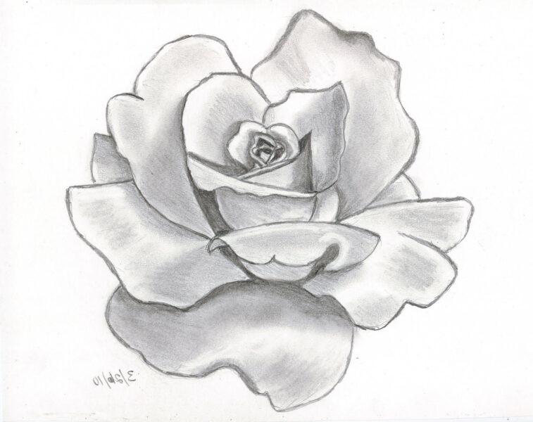 Tranh vẽ hoa hồng nghệ thuật bằng bút chì