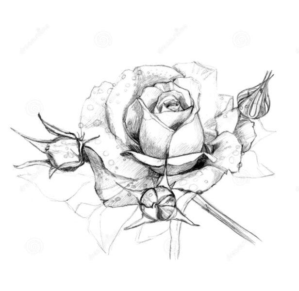 Tranh vẽ hoa hồng và những giọt nước