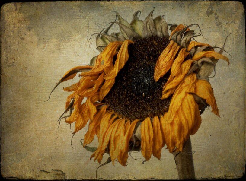 vẽ tranh đề tài hoa hướng dương khô trên giấy