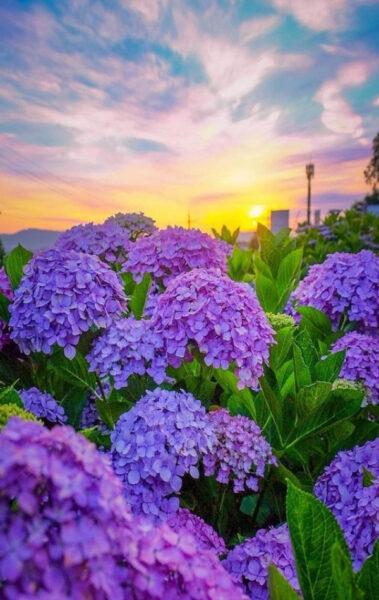 Vườn hoa cẩm tú cầu đẹp
