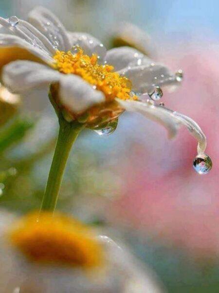 Ảnh giọt nước đọng trên bông hoa cúc trắng