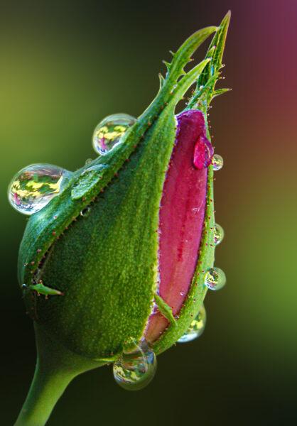 Ảnh giọt nước đọng trên nụ hoa