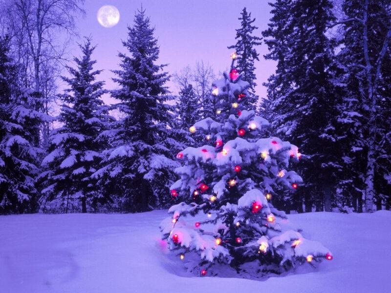 Hình ảnh cây thông Noel trong rừng thông có tuyết phủ