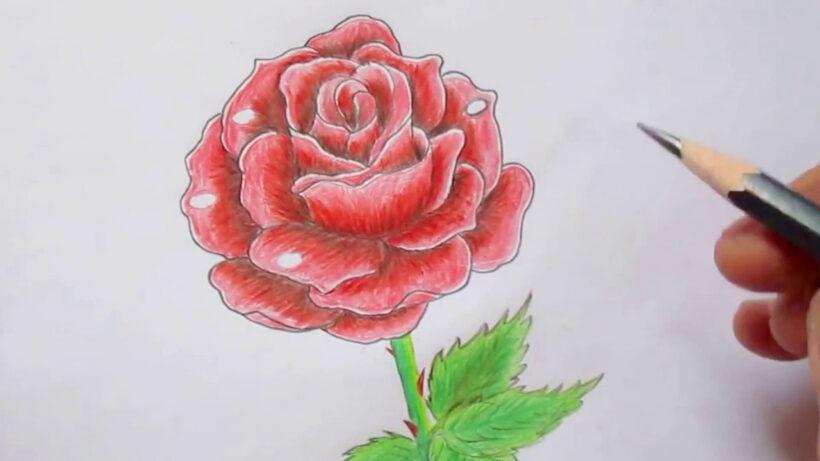 Cách vẽ bông hoa Hồng