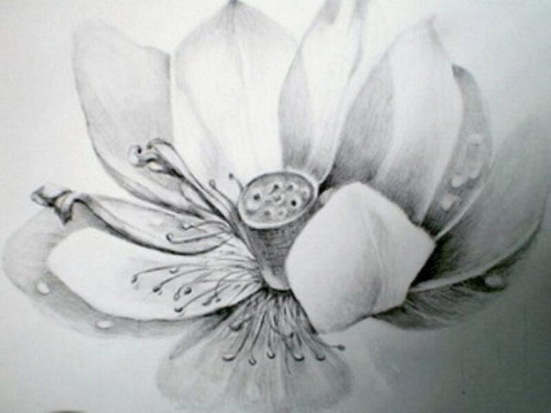 Cách vẽ hoa Sen 3D