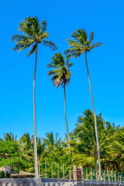 Hình ảnh cây dừa cao