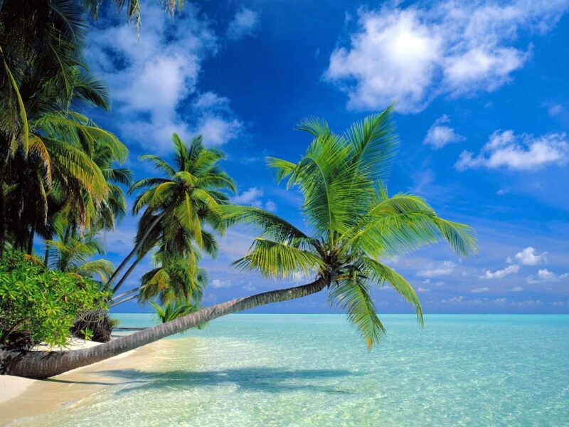 Hình ảnh cây dừa đẹp nhất