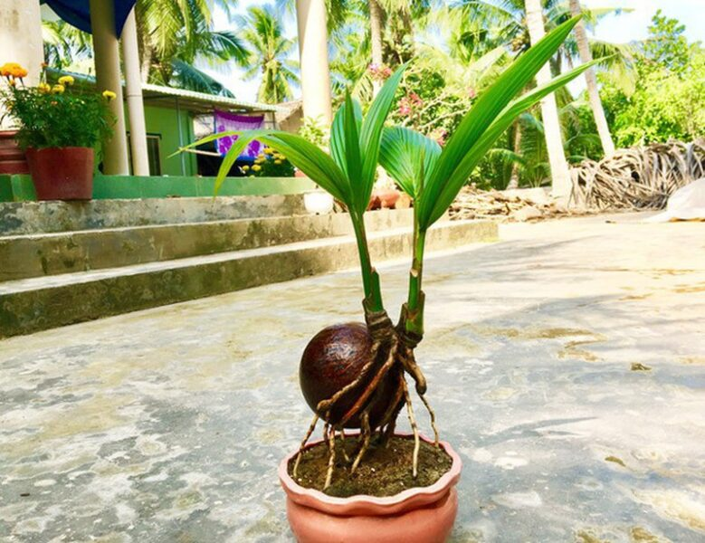 Hình ảnh cây dừa mini tuyệt đẹp