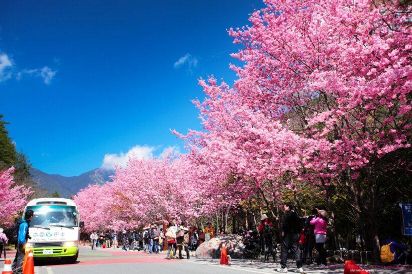 Hình nền hoa Anh Đào Nhật Bản tuyệt đẹp