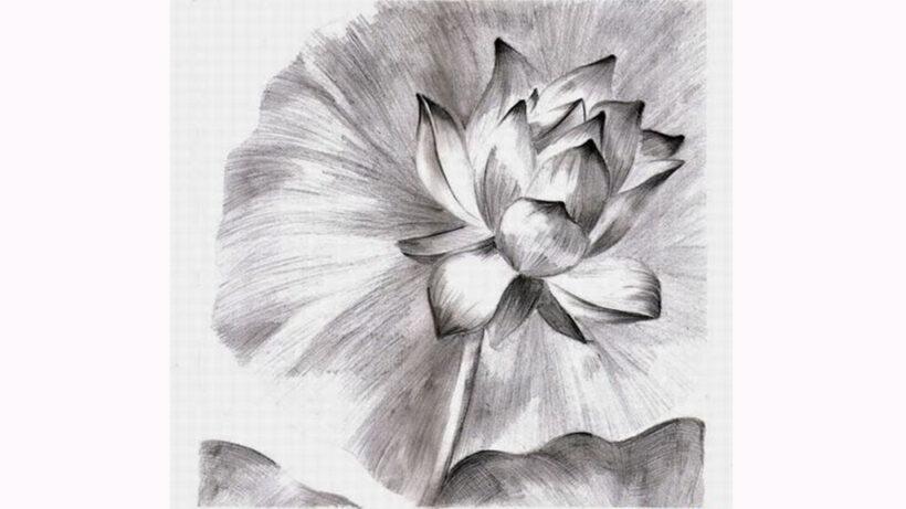 Hình vẽ bông hoa Sen bằng bút chì đẹp