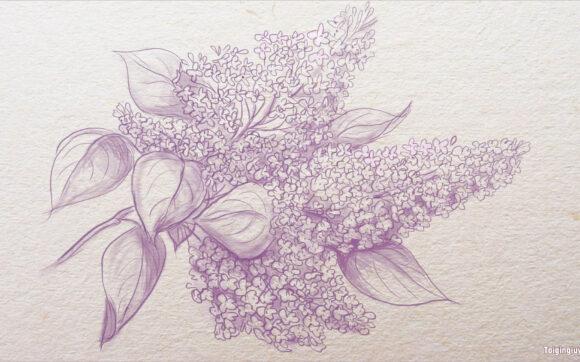 Cách vẽ hoa Tử Đinh Hương đơn giản, đẹp nhất