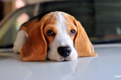 Hình ảnh chú chó buồn đẹp nhất